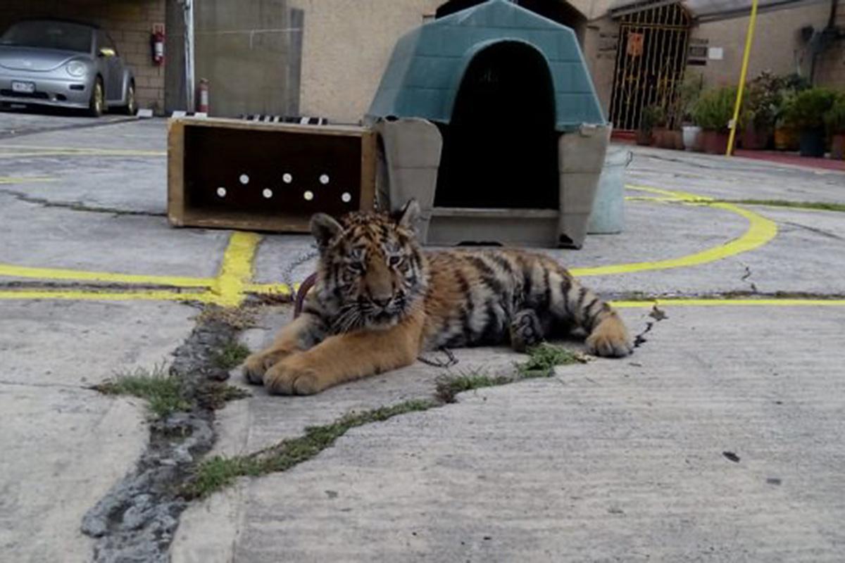 Tigre, Iztapalapa, Propepa, restaurante, Peligro de extinción,