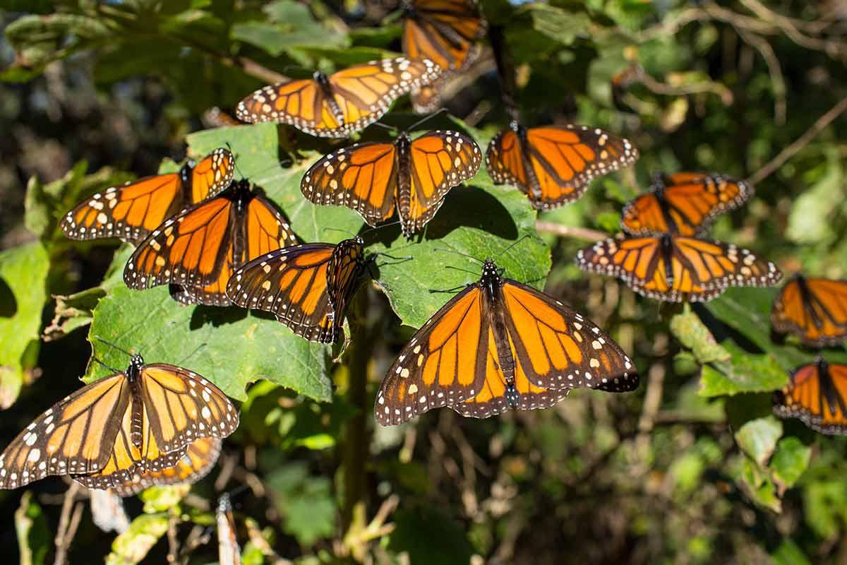 mariposa monarca, bosques,