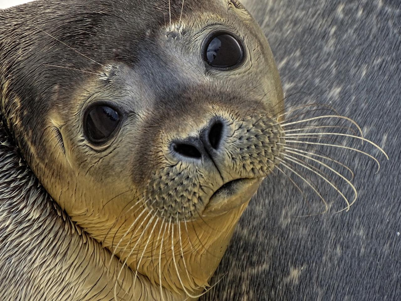 foca, animales, extinción,
