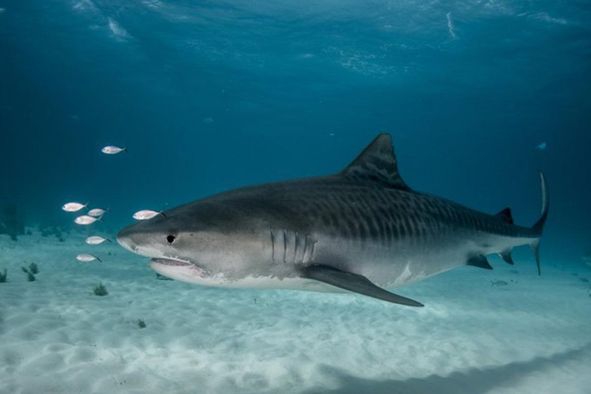 Tiburón tigre, pájaros, basureros del mar, dieta omnívora,