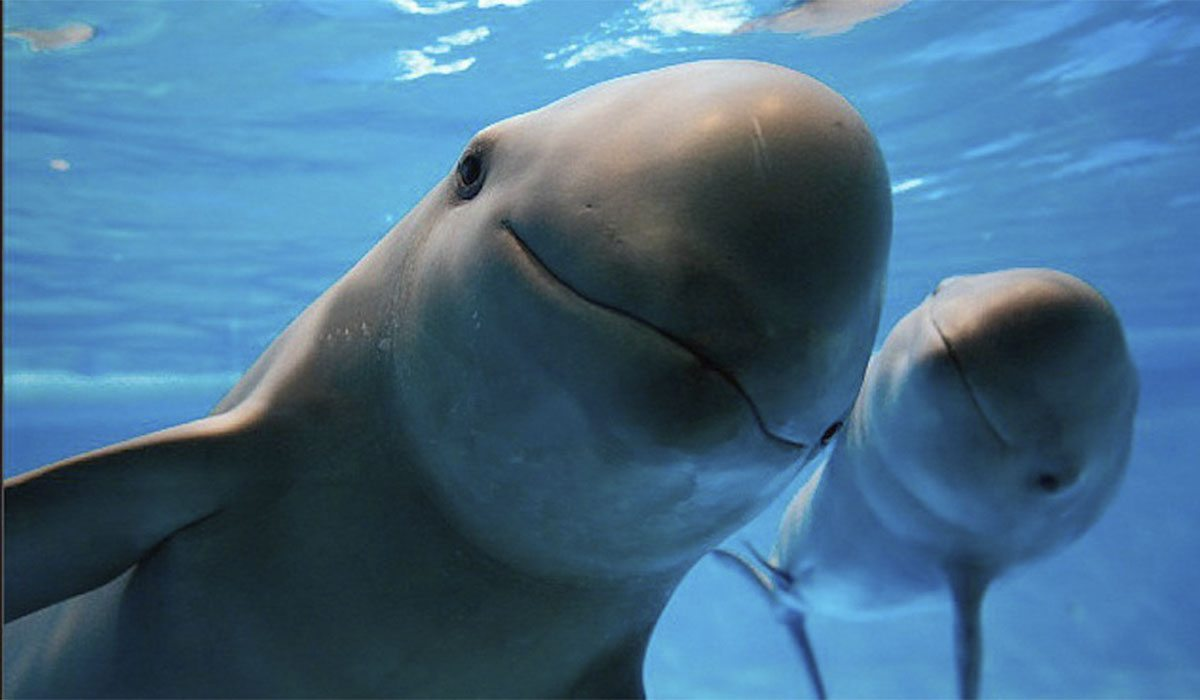 vaquita marina, UNESCO