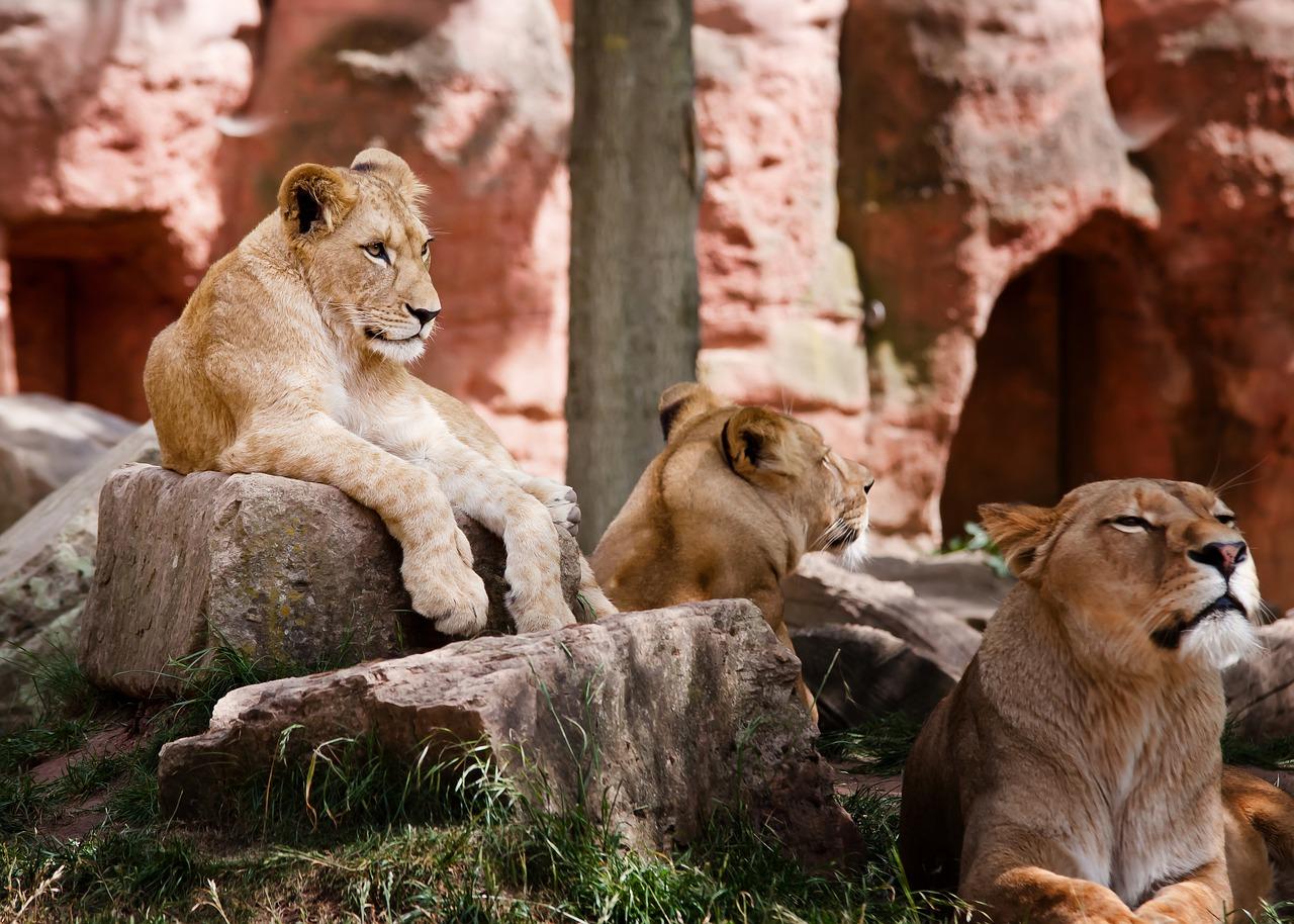 leones, Sudáfrica,