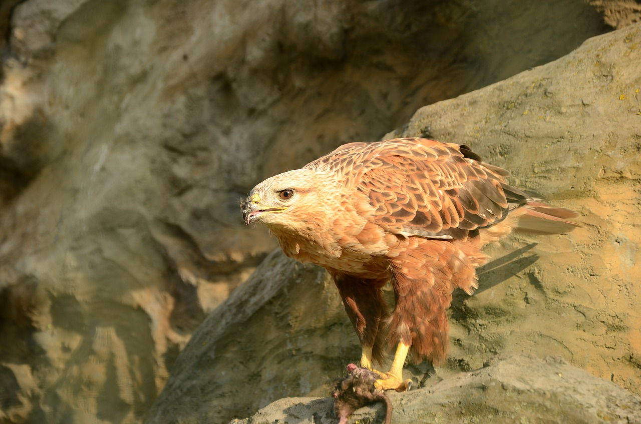 águila real, México,