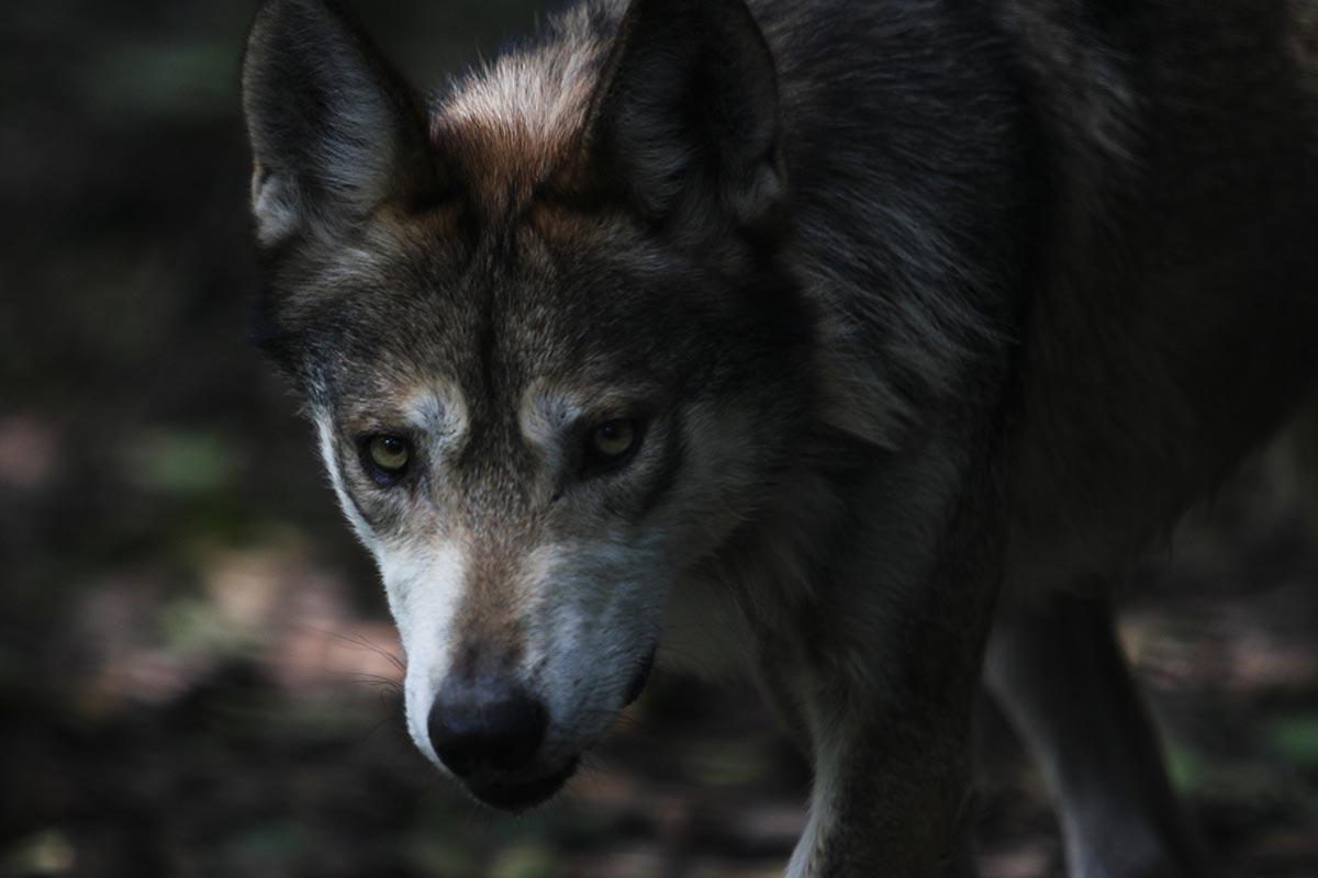 Lobo mexicano, fauna, extinción,