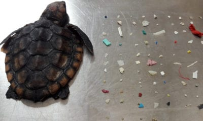 Tortuga, plástico, ecosistema, mar, muerte, asfixia, contaminación, Florida