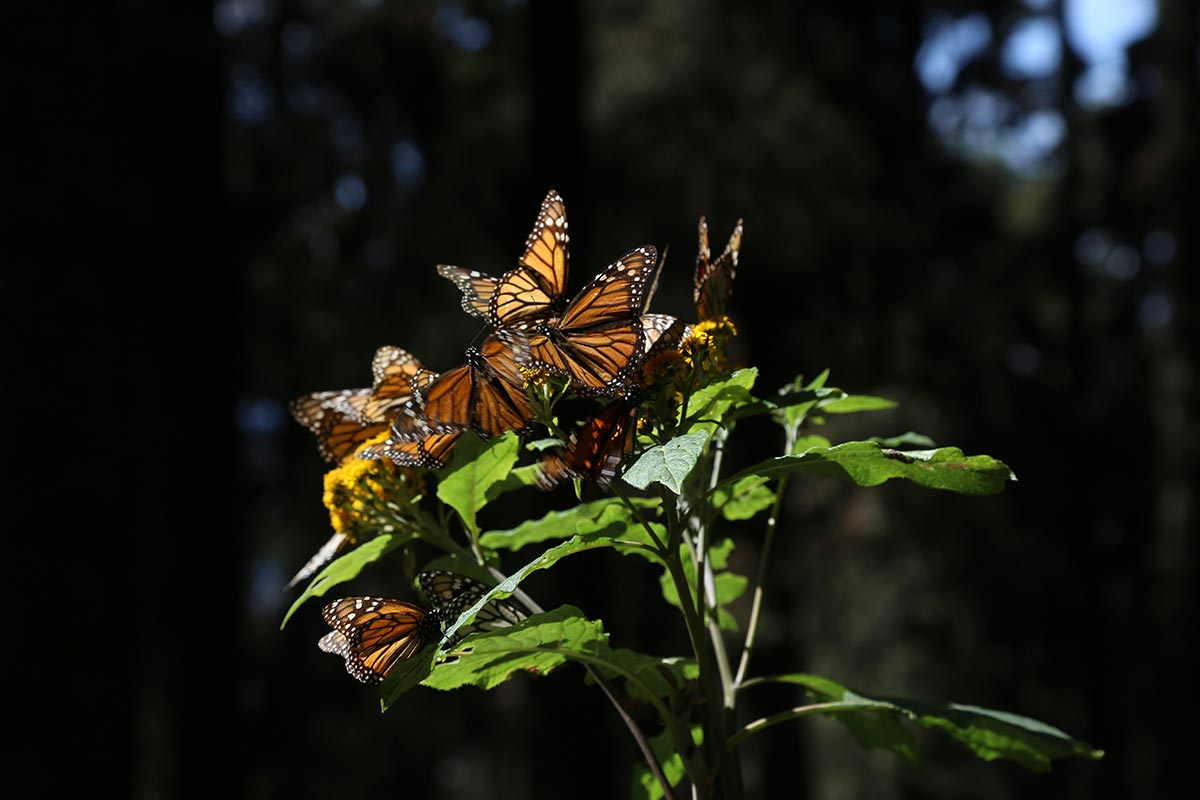 Los santuarios de la mariposa monarca están en Michoacán y Estado de México. Foto: Cuartoscuro