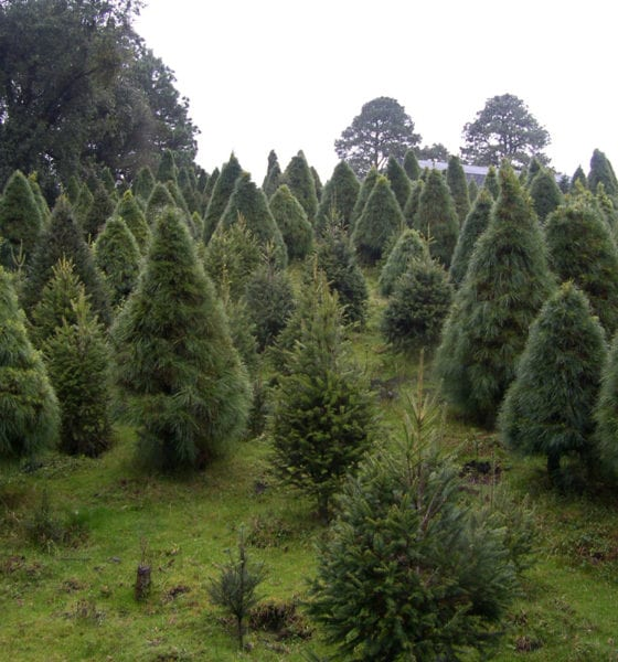 Detectan plagas en árboles de Navidad