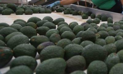 México bate record en la exportación del aguacate