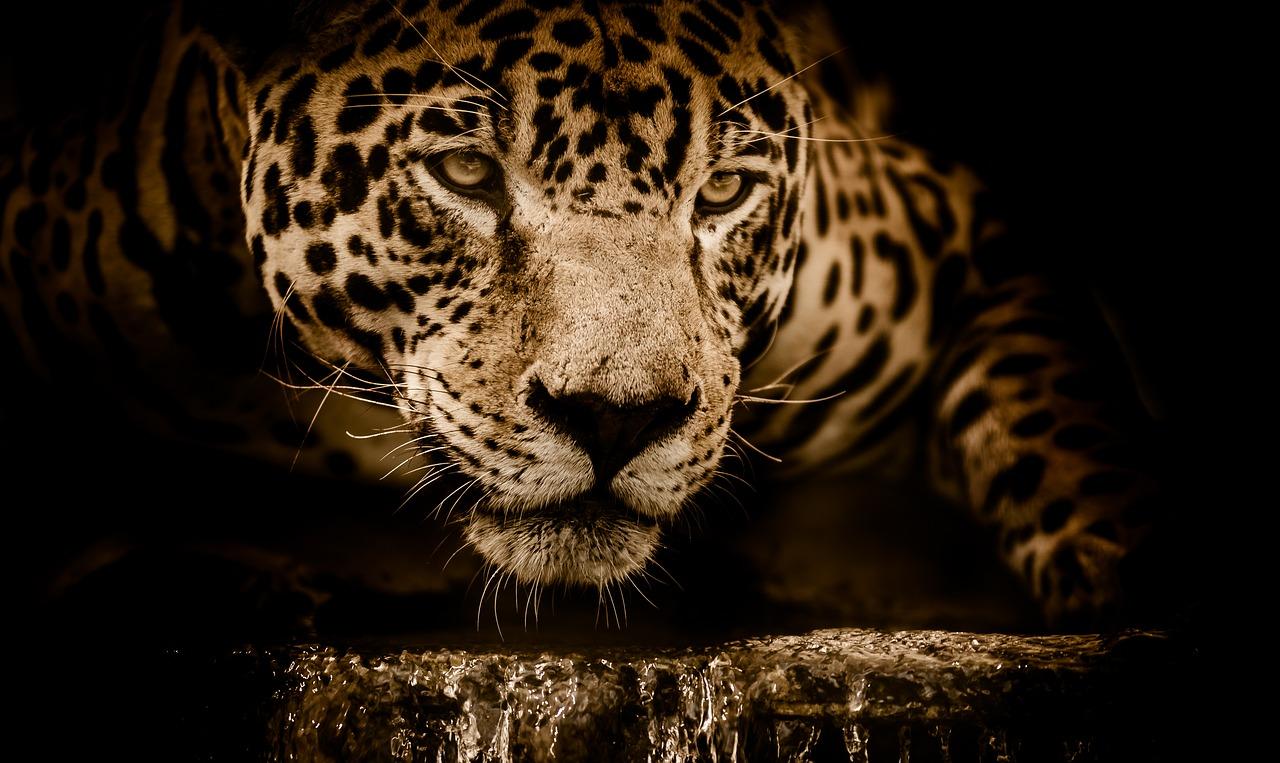 Animales en peligro de extinción, jaguar,