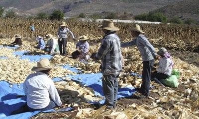 Durante período de Covid-19 en México, productores de maíz serán beneficiados