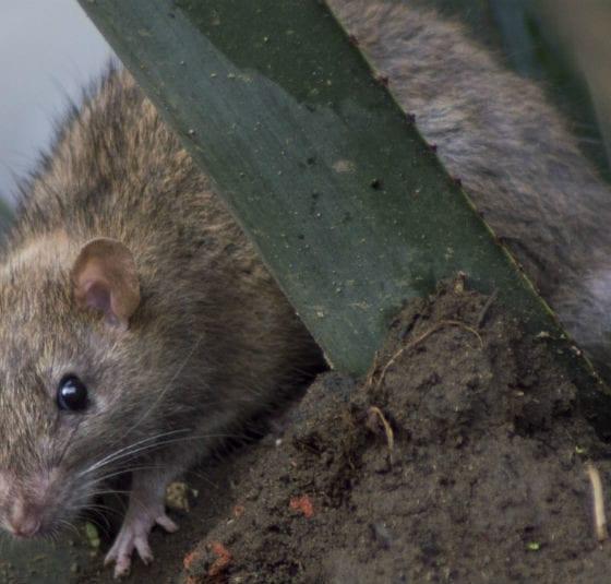 Ratas agresivas y hasta caníbales, el comportamiento extraño de los roedores en la cuarentena. Foto: Cuartoscuro