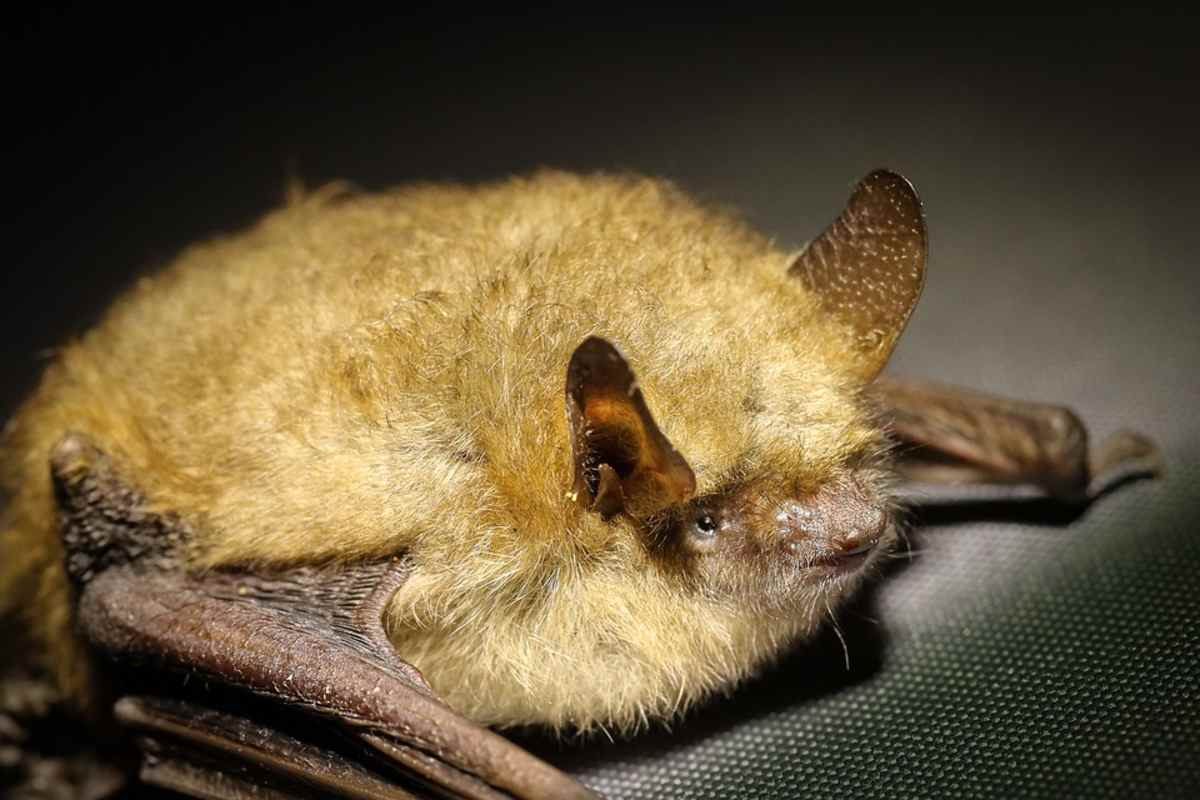 Un murciélago habría pasado el virus en Wuhan (PIXABAY)