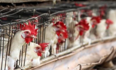 Sacrifican a gallinas en granja por gripe aviar. Foto: Cuartoscuro