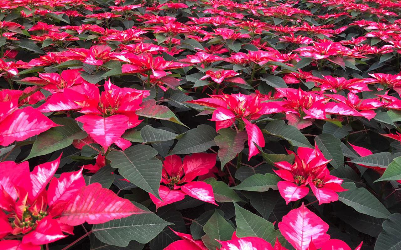 Se unen productores de Flor de Nochebuena para fiestas decembrinas