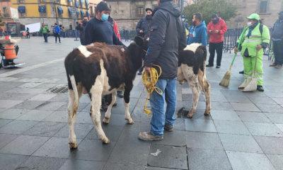 Con becerros, ganaderos protestan en el Centro Histórico en la CDMX
