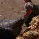 Indulto presidencial al pavo que le regalaron a López Obrador