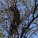 Oso trepa árbol de Universidad de Nuevo León