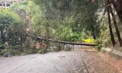 Por lluvias, caen árboles en la Ciudad de México